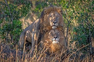 lions sodom.jpg